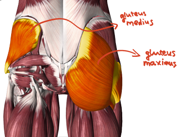 glute_max_and_med_fin_text